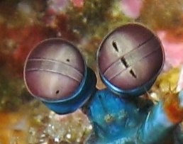 mantis_shrimp_eyes